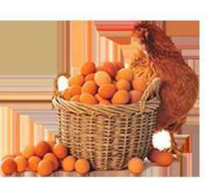 kairouan-cooperative-association-poultry-eggs-kuwait