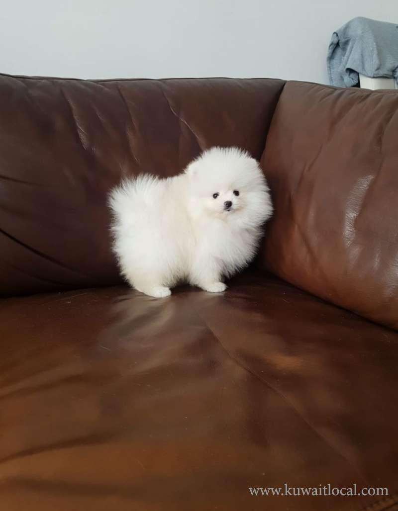 teacup-miniature-pomeranian-puppies-for-sale--dogs-and-puppies-for-sale-online-kuwait