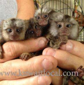 tiny-finger-marmoset-monkeys-available-kuwait