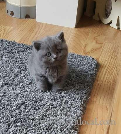 blue-british-shorthair-kittens-kuwait