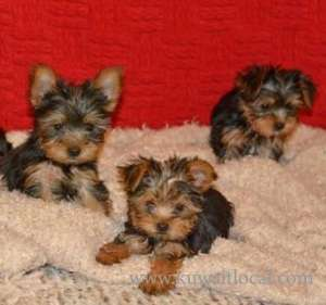 Beautiful Teacup Yorkshire Terrier Puppies in kuwait