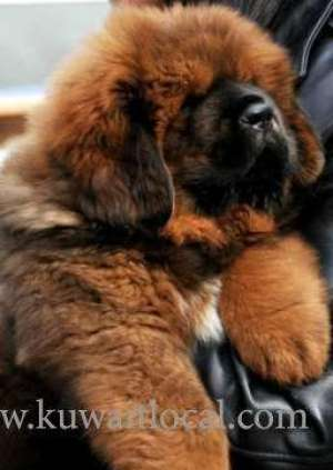 tibetan-mastiff-puppies-available-for-sale in kuwait
