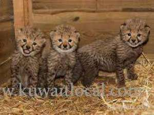 Cheetah Cubs For Sale in kuwait