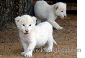 beautiful-white-lion-cubs-for-sale in kuwait