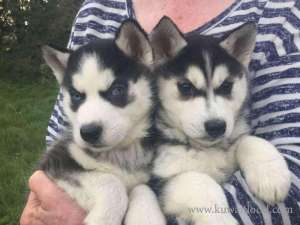 A K C Registered Siberian Husky Puppies in kuwait