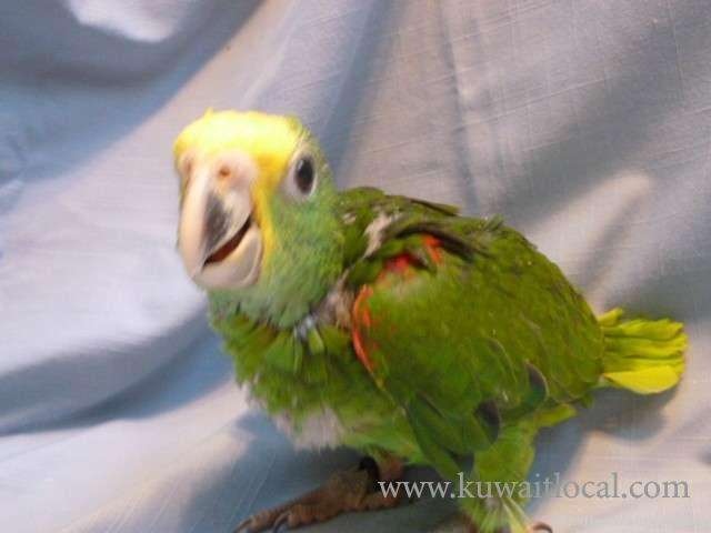baby-parrots-macaws-cockatoos-and-amazons-parrots-and-parrot-eggs-for-sale-1-kuwait