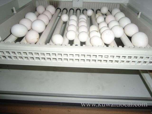 parrots-and-fertile-parrot-eggs-for-sale-1-kuwait