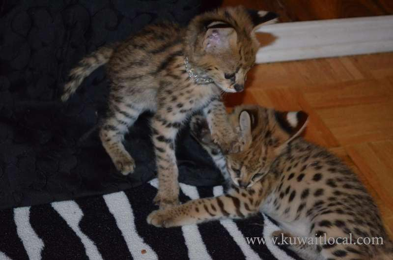 bengal-serval-savannah-and-different-breeds-available-kuwait