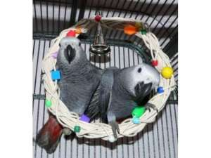 hand-reared-african-grey-parrots in kuwait