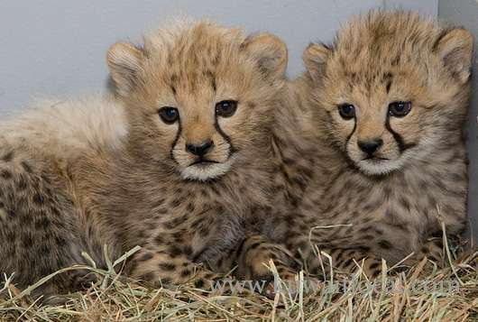 well-tamed-cheetah-lion-and-tiger-cubsfor-sale-kuwait