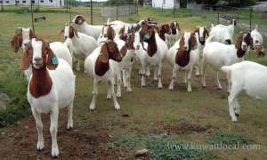 pure-bred-boer-goats-for-sale in kuwait