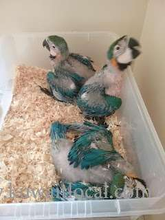 hand-raised-and-beautiful-parrots-for-sale-kuwait