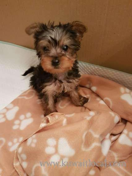 yorkshire-terrier-puppies-kuwait