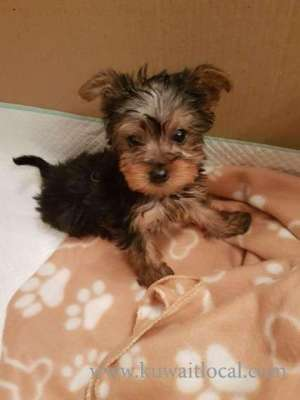 Yorkshire Terrier Puppies  in kuwait