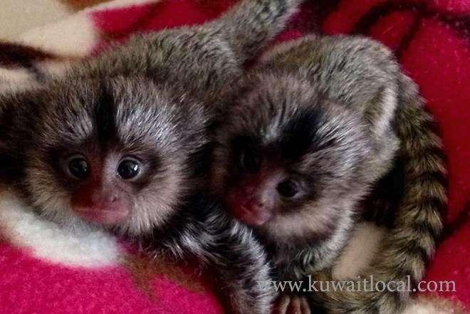 baby-marmoset-monkeys-for-adoption-kuwait
