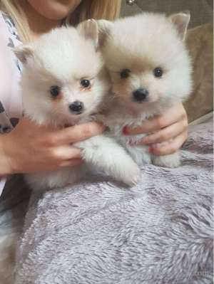 beautiful-snowwhite-teacup-pomeranian-puppies in kuwait