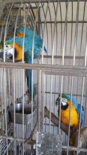 gold-and-blue-macaw-parrots-1 in kuwait