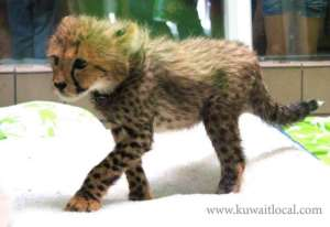 adorable-cheetah-cubs-lion-cubs-tiger-cubs-for-sale in kuwait