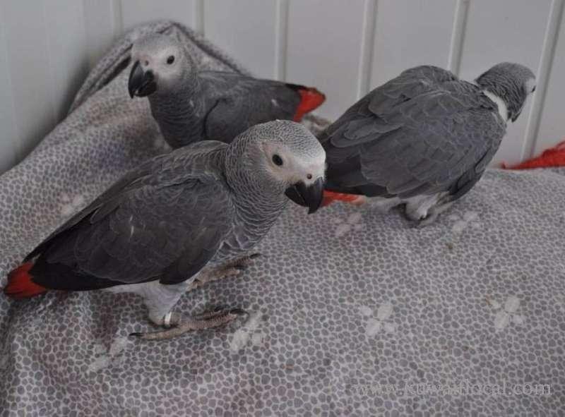 african-grey-parrots-1-kuwait