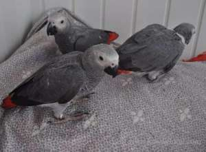 African Grey Parrots in kuwait