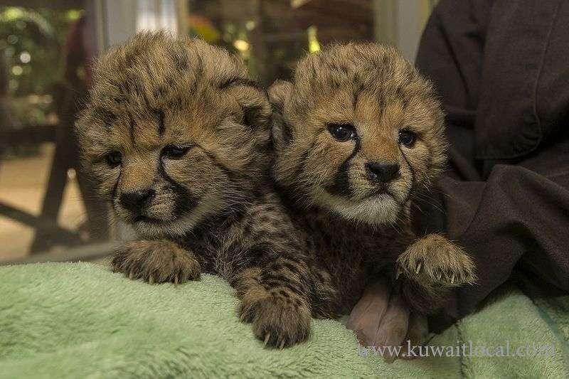 exotics-pets-for-sale-cheetah-cub-tiger-cub-lion-cub-kuwait