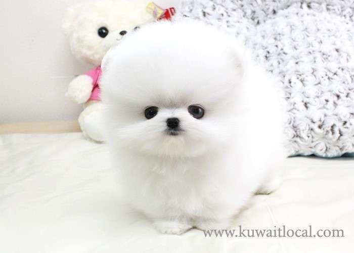 pure-breed-pomeranian-puppies-kuwait