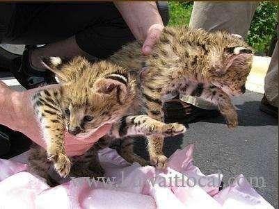 healthy-cheetah-cubs-lion-cubs-tiger-cubs-for-sale-kuwait