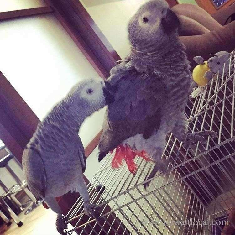 african-grey-for-sale-kuwait