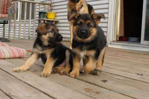 well-socialized-male-and-female-german-shepherd-puppies in kuwait