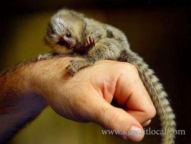 baby-marmoset-monkeys-for-adoption-1-kuwait