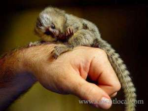 baby-marmoset-monkeys-for-adoption-1 in kuwait