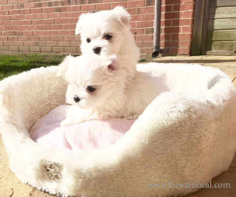 cute-and-adorale-maltese-puppies-kuwait
