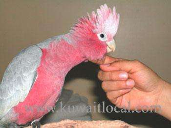 african-grey-hyacinth-macaws-moluccan-cockatoos-for-sale-kuwait