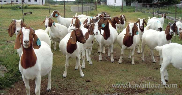 bulky-holstein-heifers-boer-goats-sheep-kuwait