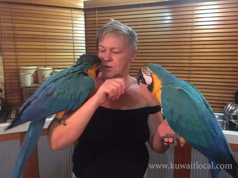 blue-and-gold-hyacinth-macaw-parrots-for-sale-kuwait