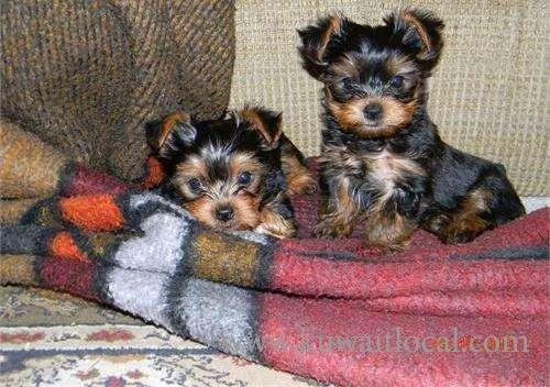 tiny-teacup-black-and-tan-yorkie-puppies-kuwait