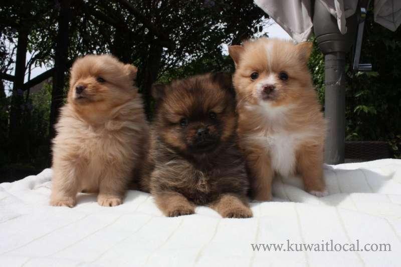 pedigree-cream-white-pomeranian-puppies-kuwait