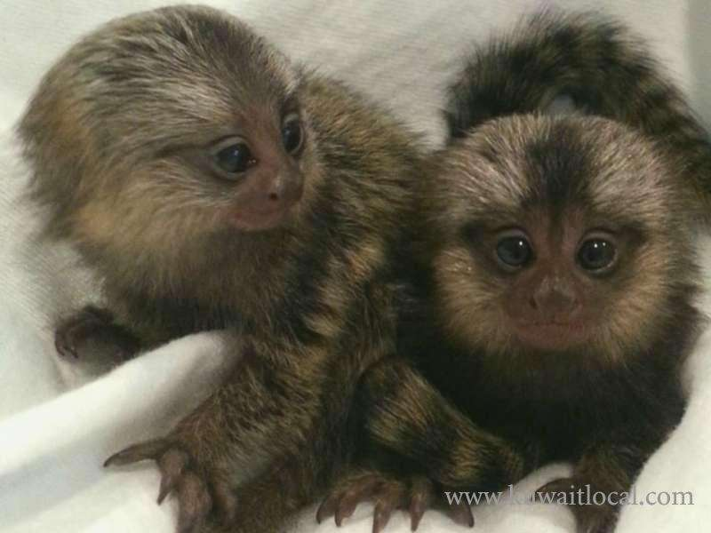 healthy-finger-marmoset-monkey-babies-kuwait