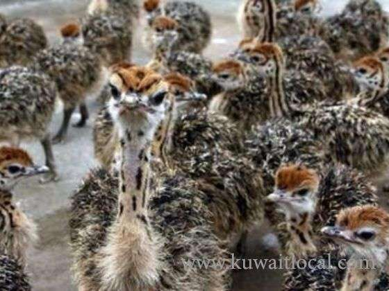 healthy-ostrich-chicks-hatching-eggs-kuwait