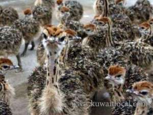 healthy-ostrich-chicks-hatching-eggs in kuwait