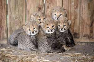 adorable-cheetah-cubs-lion-cubs-tiger-cubs-for-sale-1 in kuwait