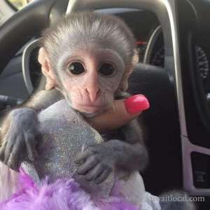 males-and-females-capuchin-monkeys-for-sale in kuwait