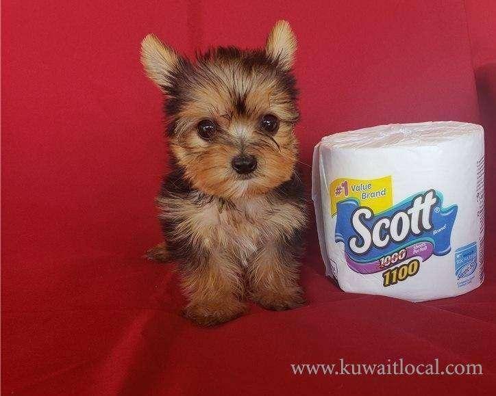 yorkie-puppies-for-adoption-kuwait