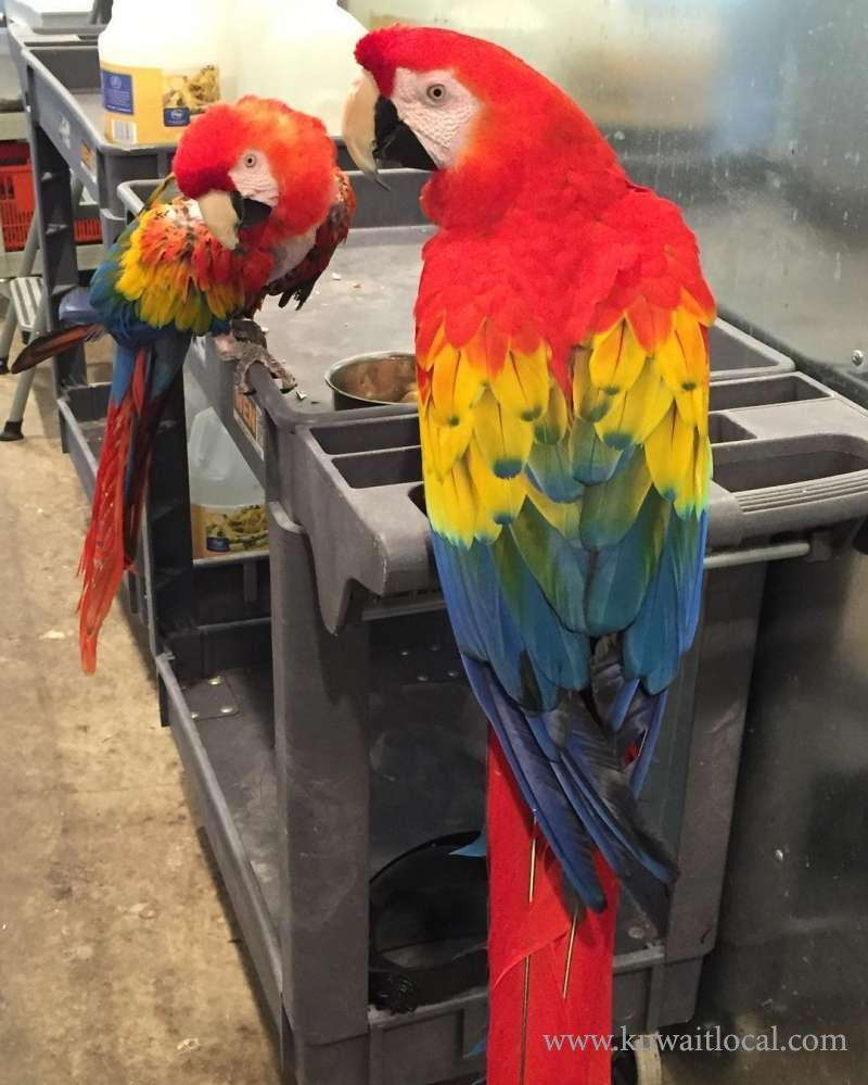 adorable-handfed-macaw-parrots-available-kuwait