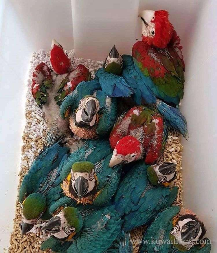 green-wing-macaw-young-pair-for-sale-kuwait