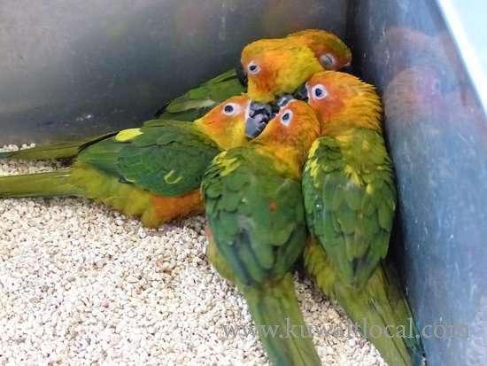 captive-pets-parrots-ready-as-companions--kuwait