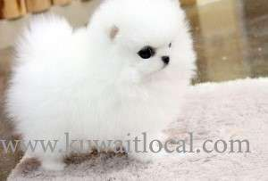 teacup-pomeranian-puppies-for-adoption-into-good-homes-only in kuwait