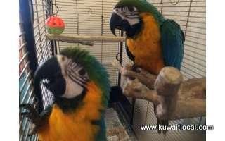 adorable-macaw-parrots-kuwait