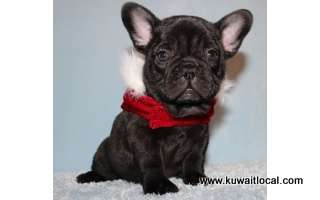 akc-choco-blue-french-bulldog-puppy-for-adoption-kuwait