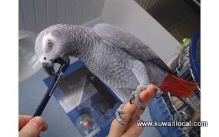 hand-reared-african-grey-parrots-kuwait